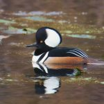 Hooded-Merganser