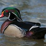 Male-Wood-duck
