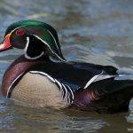 Male-Wood-duck